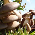 Curso de Producción de Hongos Comestibles – Gírgolas